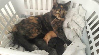 tortoiseshell cat nursing kittens