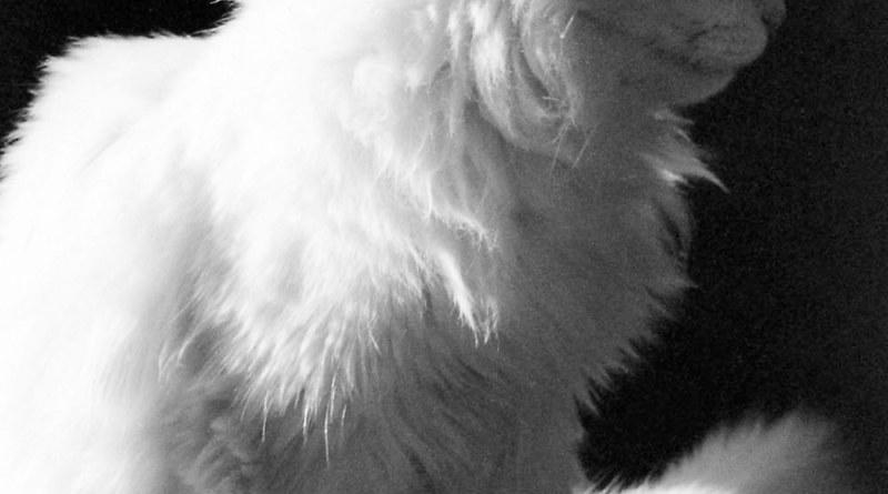 white cat in profile