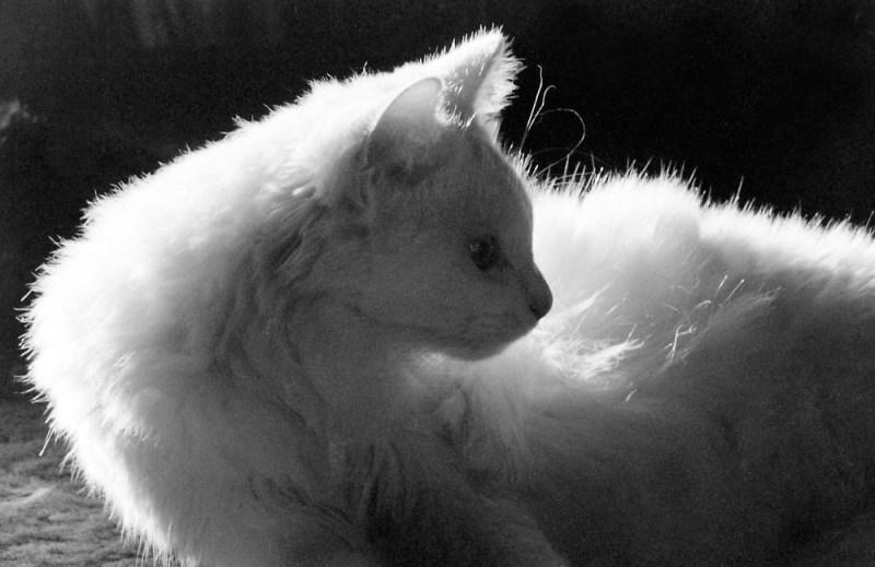 white cat turned