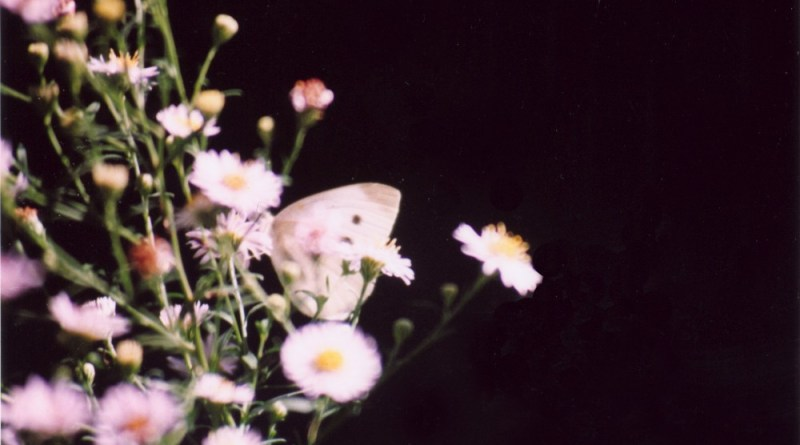 cabbage butterfly on asters