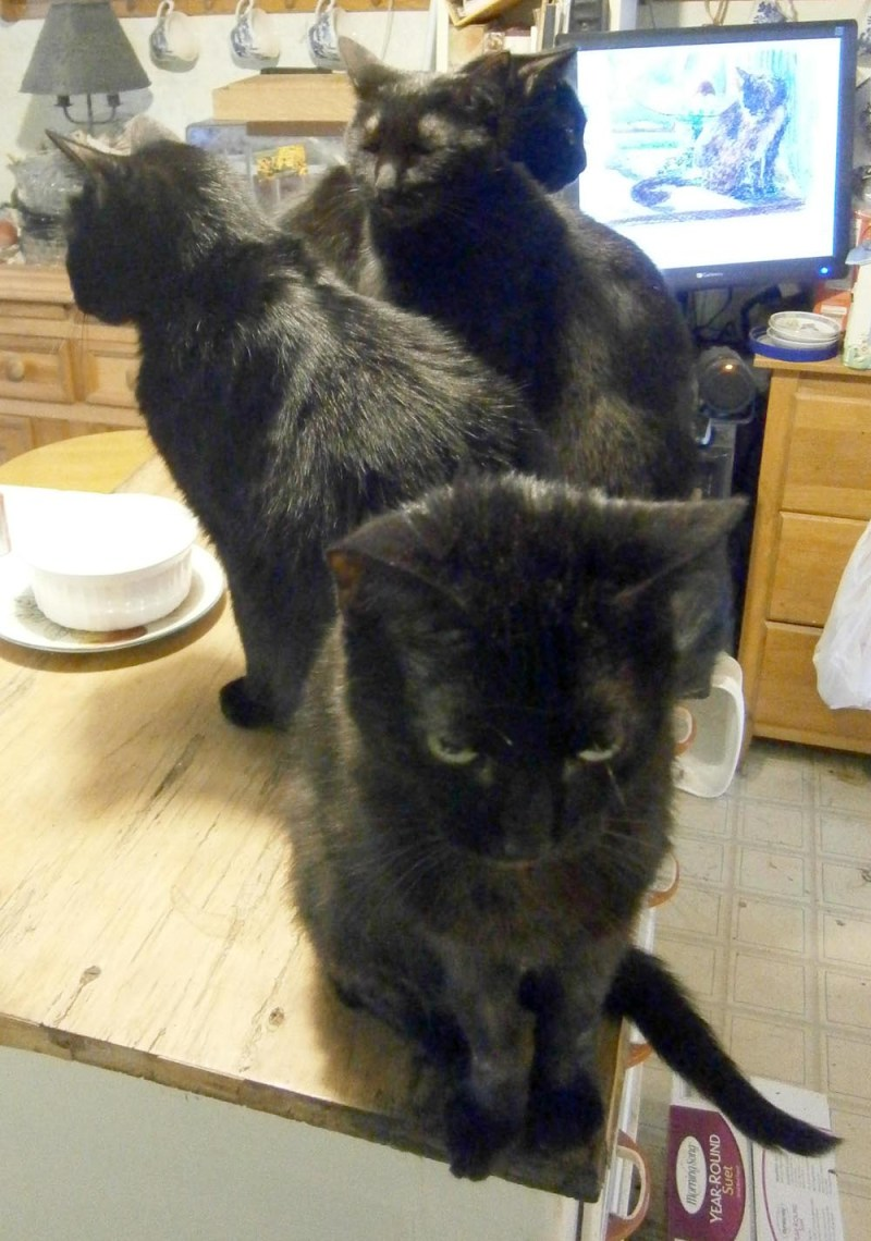 four black cats in kitchen