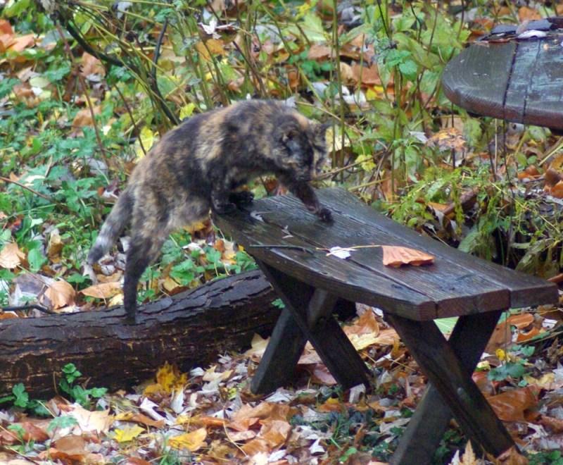 tortoiseshell cat stepping onto picnic table