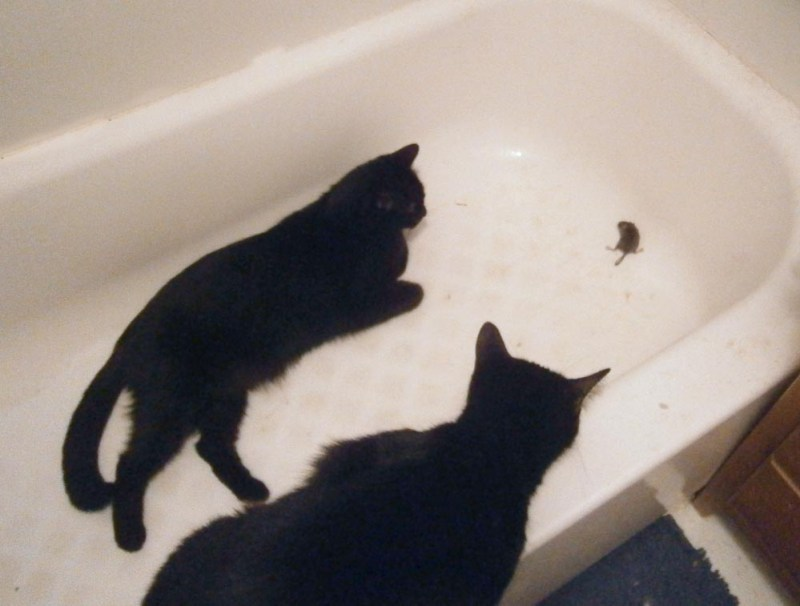 black cats with mouse in tub