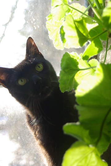 black cat looking at plant
