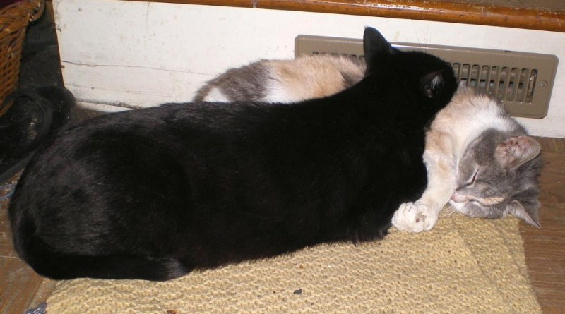 black cat using calico cat as pillow