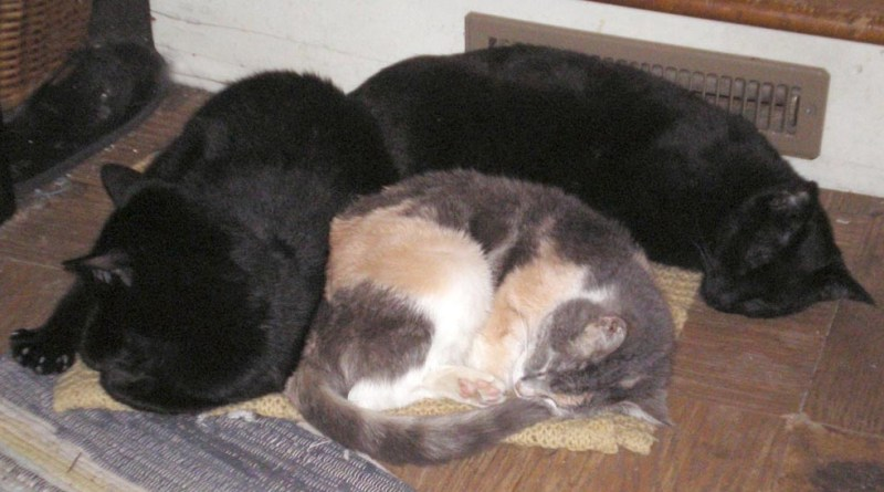 two black cats and calico cat