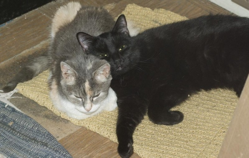 black cat using calico cat as a pillow