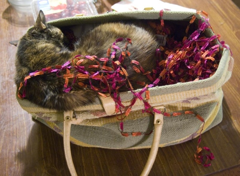 tortoiseshell cat sleeping in purse with yarn
