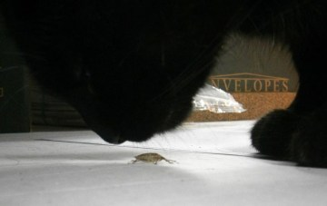black cat silhouette sniffing stink bug