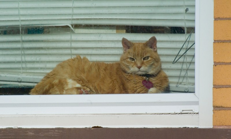 orange cat in window