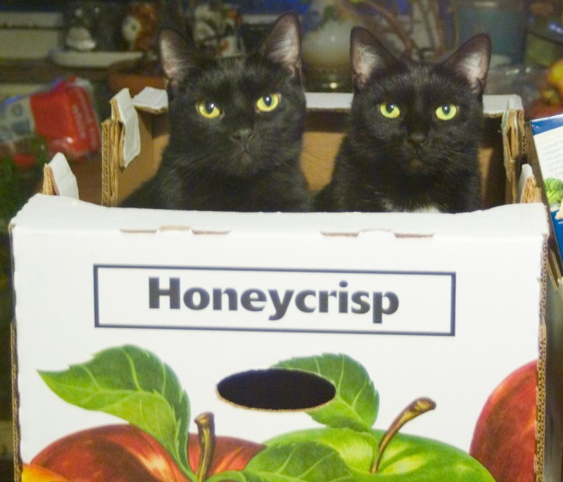 two black cats in honeycrisp box