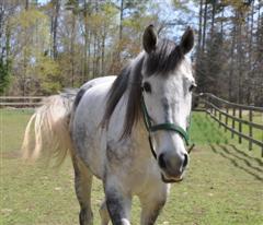 throughbred horse