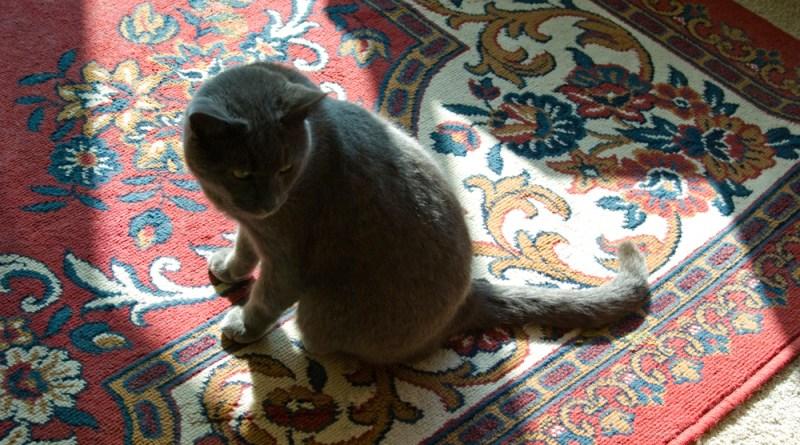 gray cat on oriental rug
