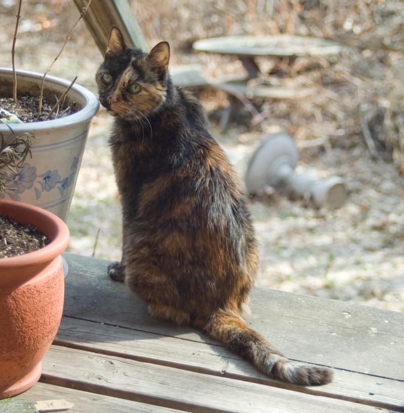 tortoiseshell cat on deck