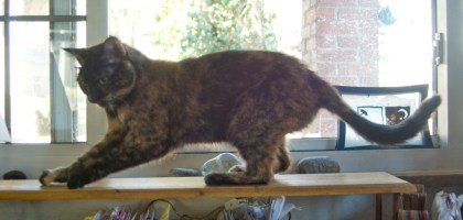 tortoiseshell cat scratching wooden shelf