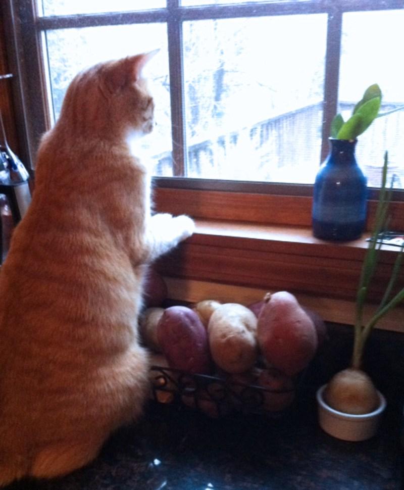 oramge cat watching birds
