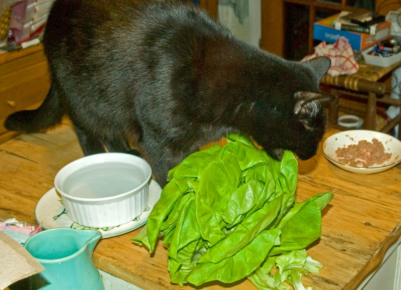 black cat eating lettuce