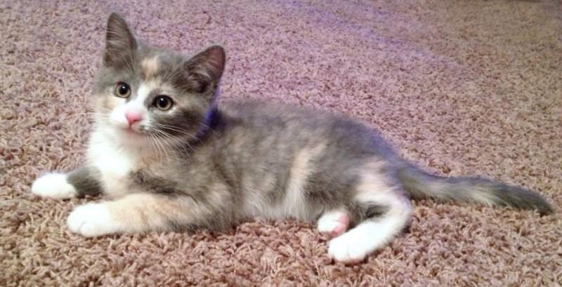 dilute calico kitten on carpet