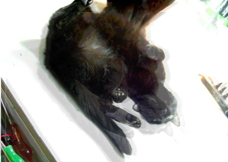 black cat rolling