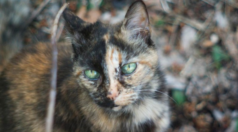 tortoiseshell cat on leaves