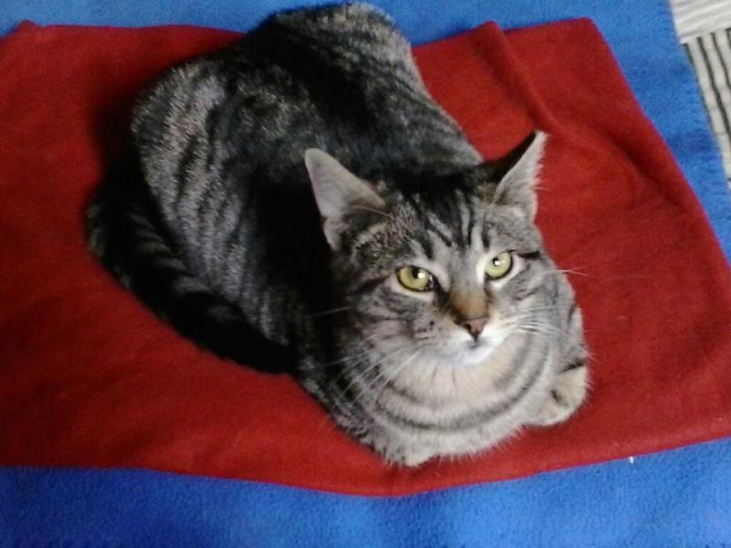 tabby cat on blanket