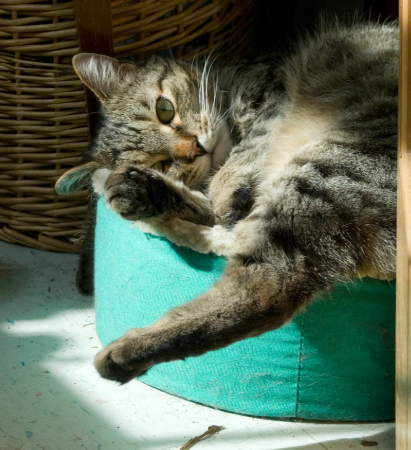 tabby cat in cat bed