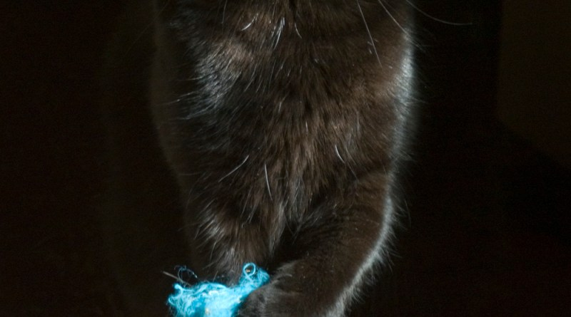 black cat with blue fuzzy toy
