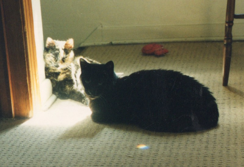 tortoiseshell cat and black cat