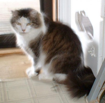 photo of long-haired tabby and white cat