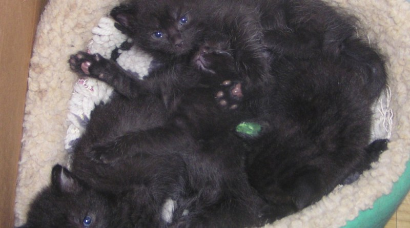four black kittens in bed