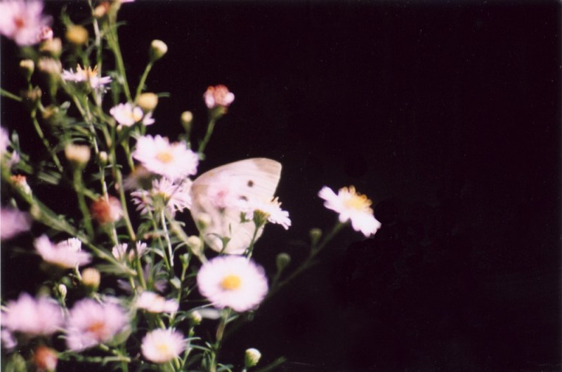 photo pf asters with cabbage butterfly