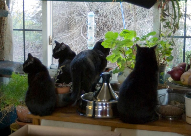 four black cats watching out the window.