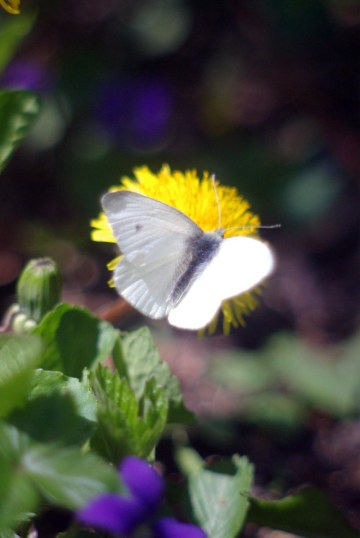 """The First Butterfly"", a cabbage white butterfly, welcome in spring to visit the dandelions and violets"