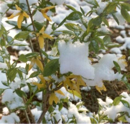 forsythia with snow