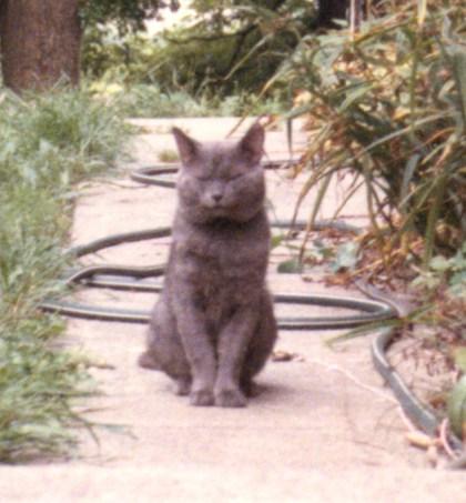 gray tom cat