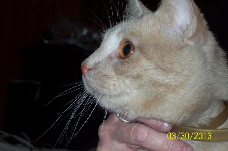 orange cat with orange eyes