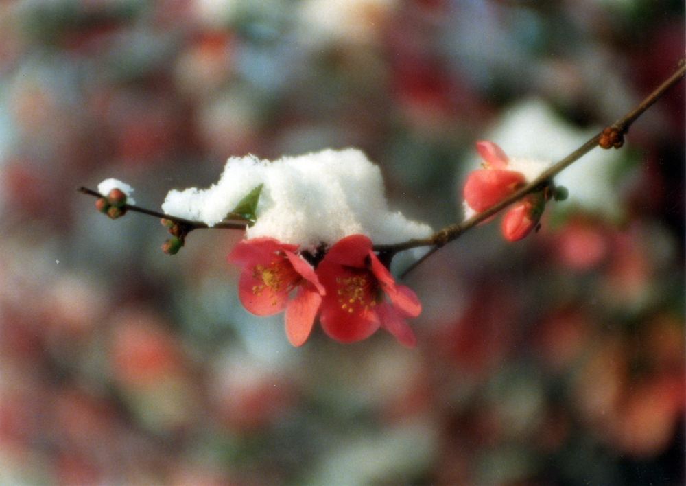 quince blossoms with snow