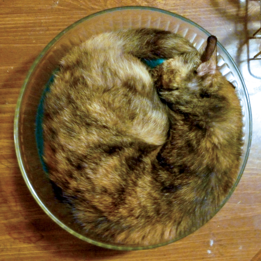 tortoiseshell cat in salad bowl