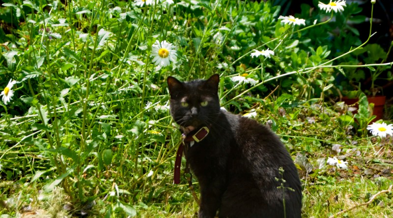 black cat with daisies