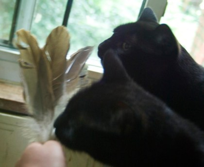 black cats with feathers