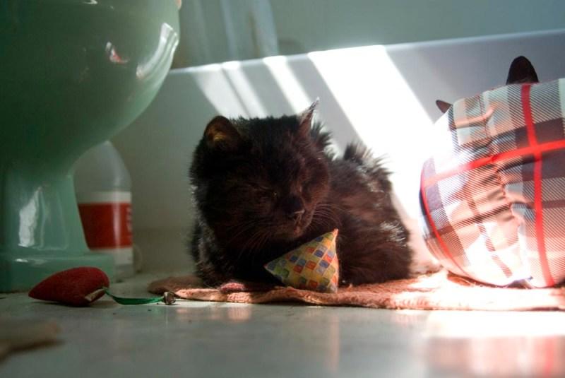 black cat with catnip toys