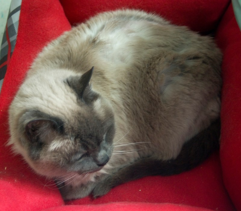 siamese cat in red bed
