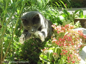 Smokey the model cat tries to catch a bee in the garden!