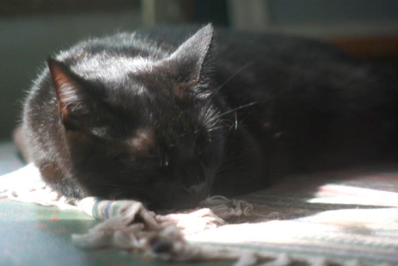 black cat dozing by window