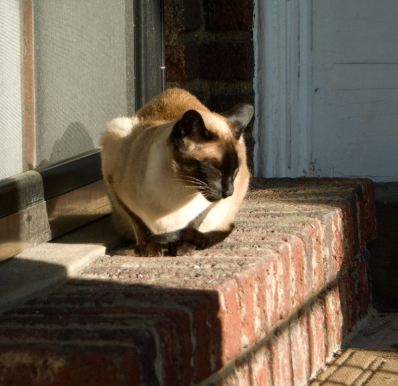 Siamese cat in sun