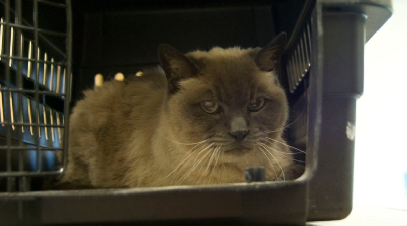 siamese cat in carrier