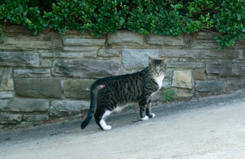 The injured stray tabby cat in question.