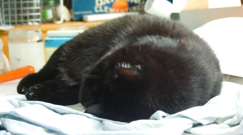 black cat curled up asleep