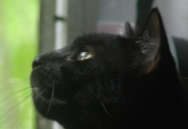 black cat looking out window.