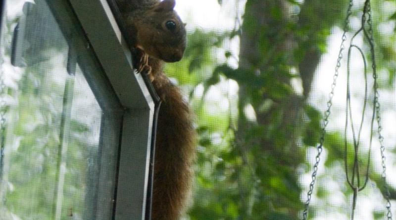 squirrel on window